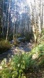 Abeto y bosque frondoso Foto de archivo libre de regalías
