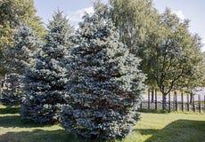 Abetos azules en el fondo de abedules Imagen de archivo libre de regalías