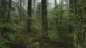 Abetos, bosque del noroeste pacífico almacen de metraje de vídeo