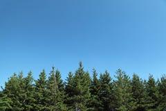 Abetos con el cielo azul Imagenes de archivo