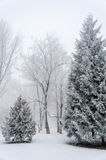 Abetos cubiertos con nieve en el bosque en la del invierno de la niebla gruesa Foto de archivo libre de regalías