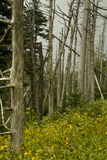 Abetos de Fraser inoperantes, Wildflowers Fotos de Stock Royalty Free