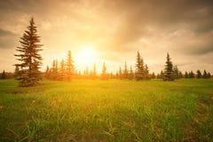 Abetos em um prado verde no por do sol Fotos de Stock