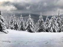 Abetos en las montañas de Jeseniky imagen de archivo