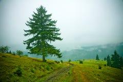 Abetos en niebla Fotos de archivo libres de regalías