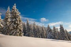 Abetos enormes cubiertos con nieve debajo del cielo azul imágenes de archivo libres de regalías