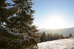Abetos hermosos en las montañas, cubiertas con nieve Imágenes de archivo libres de regalías