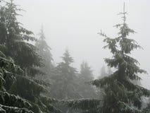 Abetos na névoa. fotos de stock royalty free