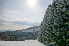 Abetos nevados hermosos en bosque del invierno foto de archivo libre de regalías
