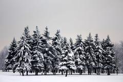 Abetos oscuros de la tristeza en invierno Imagenes de archivo