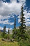 Abetos verdes e skies-01 azul Fotos de Stock