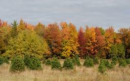 Abetos vermelhos pequenos na frente das árvores do outono imagens de stock