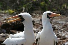 Abgedeckte Dummköpfe, Galapagos Lizenzfreies Stockbild