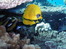 Abgedecktes butterflyfish Lizenzfreie Stockfotos