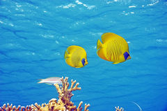 Abgedecktes butterflyfish (chaetodon larvatus) stockfotos