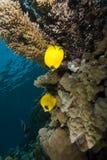 Abgedecktes butterflyfish (Chaetodon semilarvatus) Lizenzfreie Stockfotos