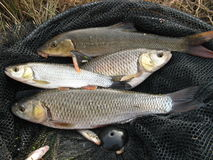 Abgefangene Fische Lizenzfreie Stockbilder