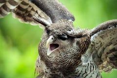Abgehaltener Eagle Owl lizenzfreies stockbild