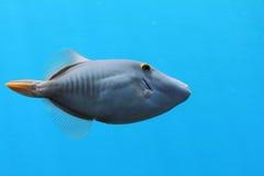 Abgehaltener Filefish Lizenzfreies Stockfoto