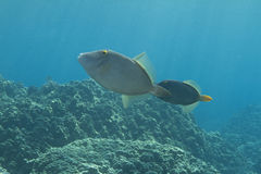 Abgehaltener Filefish Lizenzfreie Stockbilder