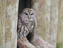 Abgehaltenes Owl Resting auf dem Baum-Stamm Lizenzfreie Stockfotografie