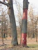 Abgestreifte Bäume Stockfoto
