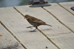 Abgestreifter Vogel, der Brot isst Stockbild
