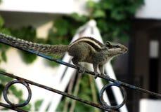 Abgestreiftes Eichhörnchen Lizenzfreie Stockfotografie
