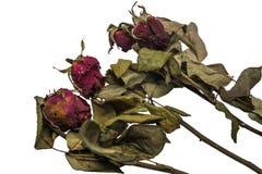 Abgetragene Rotrose auf weißem Hintergrund Stockfotografie