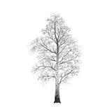 Abgetrennte Baumbirke ohne Blätter, Illustrationen Stockfotos