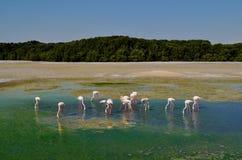Abgewanderte kleine Gruppe Flamingos im grünen Seeteich Stockfoto