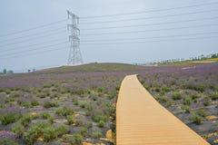 Abhang planked Weg auf dem Lavendelgebiet Lizenzfreie Stockfotos