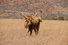 Abhang Texas Longhorn Lizenzfreie Stockbilder