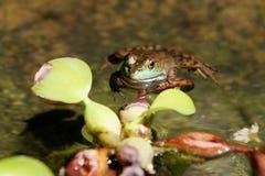 żabi Obrazy Stock