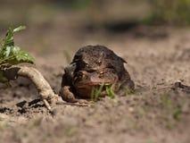Żabi zdjęcia stock