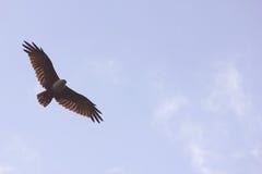 Abierto de par en par altísimo de Eagle alto en el cielo azul Imágenes de archivo libres de regalías