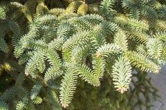 Abies ветви Pinsapo в саде Стоковое Изображение RF
