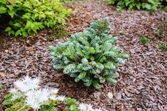 Abies den koreanaKohouts isbrytaren, ny dvärg- cultivar av koreansk gran Royaltyfria Foton