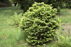 Abies ` för jordklot för lasiocarpa`-gräsplan, Fotografering för Bildbyråer