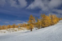 Abies fabri (Mast.)Craib in autumn Stock Photography