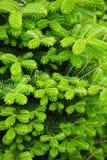 Abies koreana, cultivar of Korean fir with fresh buds Royalty Free Stock Photo