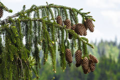 Abies kotten Royaltyfria Foton