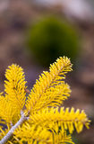 Abies1 royalty free stock images