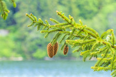 Abies o cone Fotografia de Stock Royalty Free
