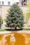 Abies Pinsapo в саде Стоковые Фото