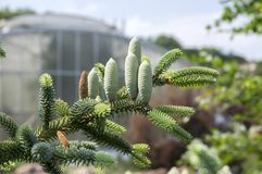 Free Abies Pinsapo Coniferous Tree Branches Full Of Needles And With Green Unripened Cones Stock Image - 123903921