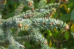 Spanish fir Abies pinsapo needles and branches stock images