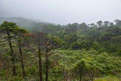 Abies skogen i mist Royaltyfri Fotografi