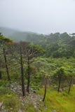 Abies skogen i mist Royaltyfri Foto