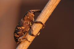 Abietis de Hylobius del escarabajo de hocico imágenes de archivo libres de regalías